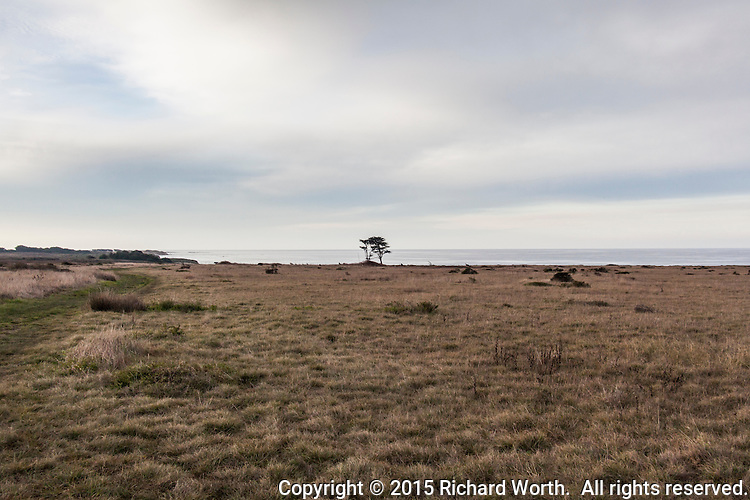 On a cloudy morning just after sunrise, two trees stand tall at the western end of Cascade Creek Trail at Año Nuevo State Reserve on the California Coast.