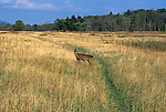 Whitetail Deer, Big Meadows, Shenandoah National Park, VA