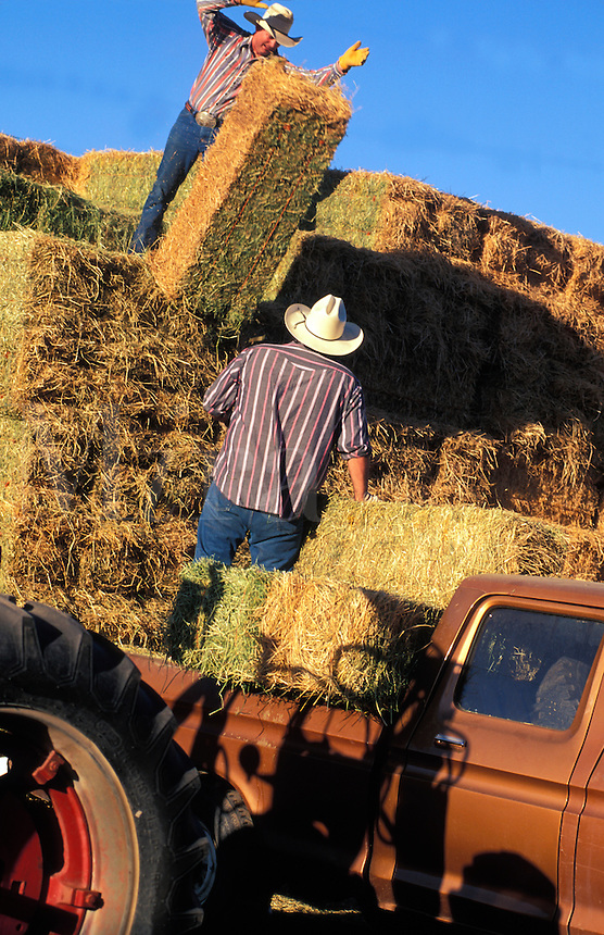 Cowboys Loading Hay