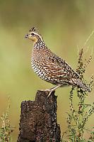 Northern Bobwhite - Colinus virginianus - female
