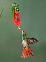 Rufous tailed hummingbird in Ecuador visits a red flower at the Tandayapa bird lodge in Ecuador.