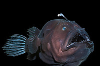 deep sea anglerfish, angler fish, doublespine seadevil or black seadevil, Diceratias pileatus, c , uses bioluminescent lure to attract prey in the deep ocean; brought up from a depth of 3,300 feet, 1000m in a water intake pipe at Natural Energy Lab of Hawaii, NELHA , Keahole, Kona, Hawaii, the Big Island , dm