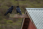 Common Raven (Corvus corax) pair, Tennessee Valley, Mill Valley, Bay Area, California
