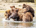 "Pictured: Two bear cubs cling to their mother's back as they hitch a ride across a wide river.   The six month old grizzlies hold on tightly as their mum crosses the fast flowing, 6ft deep water, as they are not yet strong enough to swim and their mother is trying to teach them not to be afraid of cold water.<br /> <br /> The images were captured by photographer Pattie Walsh in Lake Clark National Park, Alaska.   Mrs Walsh, who lives in Gilbert, Arizona, said: ""The cubs appeared to be a little apprehensive. They stayed close to their mum and latched on as tight as they could.   SEE OUR COPY FOR DETAILS<br /> <br /> Please byline: Pattie Walsh/Solent News<br /> <br /> © Pattie Walsh/Solent News & Photo Agency<br /> UK +44 (0) 2380 458800"