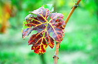 A leaf of Merlot grape in early autumn with fall colours colors on a branch of a vine in Bergerac near Bordeaux Gironde Aquitaine France Europe