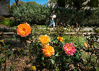 Roses near the Academic Quad, March 28, 2018.<br /> (Photo by Marc Campos, Occidental College Photographer)
