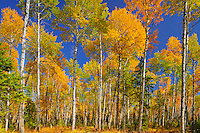 Trembling aspen Trembling aspen (Populus tremuloides) forest in autumn colors<br /> Prince Albert National Park<br /> Saskatchewan<br /> Canada