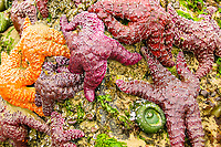 Red and orange starfish crowded on rock during low tide