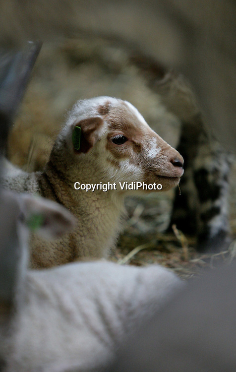 Foto: VidiPhoto..NUENEN - Terwijl het in heel Nederland nog volop winter is, is in het Brabantse Nuenen de lente al aangebroken. Op de schapenhouderij van Rob Adriaans zijn inmiddels zo'n 100 lammetjes geboren, waaronder opmerkelijk veel meerlingen; veel meer dan andere jaren. Oorzaak is volgens Adriaans vermoedelijk de enorme grasgroei van het afgelopen jaar naast de extra aandacht voor de gezondheid van de schapen. De lammetjes van het eigen gefokte Gulbergen ras, zijn allemaal bestemd voor consumptie. Adriaans levert zijn exclusieve lamsvlees aan de Nederlandse toprestaurants tijdens Pasen en Pinksteren.