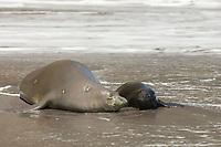 Hawaiian monk seal, Neomonachus schauinslandi ( Critically Endangered species, endemic to Hawaiian Islands ), with two week old pup, resting in surf line on beach at Waimanu Valley, Hawaii Island ( Pacific Ocean )