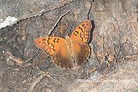 03469-00603 Tawny Emperor (Asterocampa clyton) Mississippi County, MO