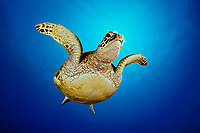 green sea turtle, Chelonia mydas, juvenile, endangered species, Hanauma Bay Nature Preserve, Oahu, Hawaii, USA, Pacific Ocean (dc)