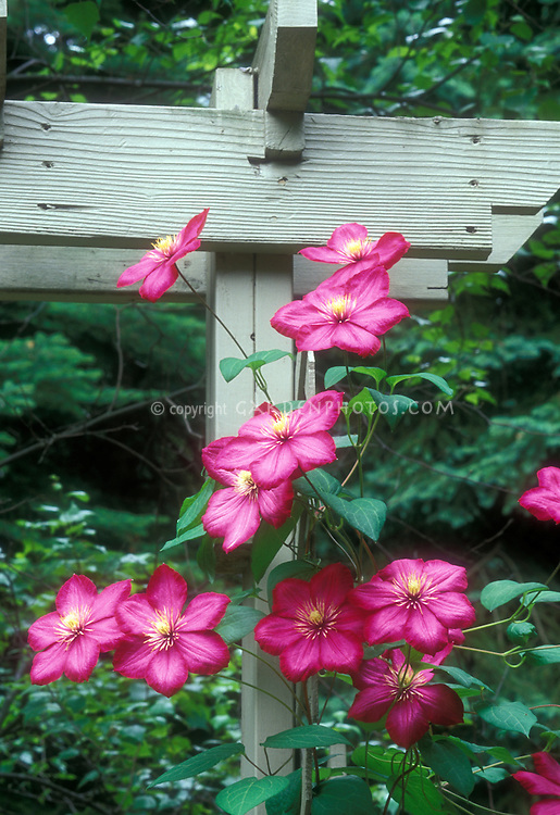 Clematis vine on trellis in flower red variety Ville de Lyon
