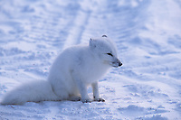 Arctic fox on tundra, Churchill, Manitoba, Canada