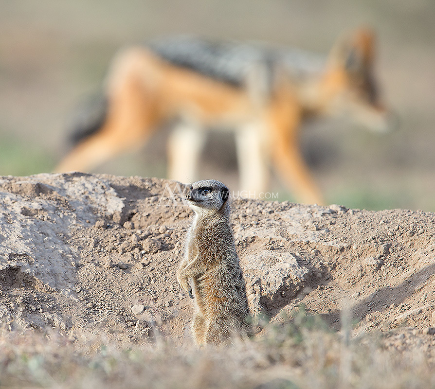 Though extremely shy, these meerkats were starting to get comfortable with my presence... until a jackal ran by and scared them back in their burrow.