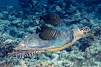 sailfin tangs, Zebrasoma veliferum, graze algae off shell of a hawksbill sea turtle, Eretmochelys imbricata, Maldives (Indian Ocean)