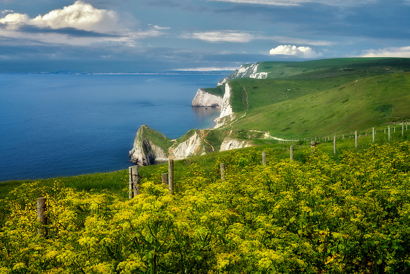 Yellow flowers and Dorset coast. Jurassic Coast, England