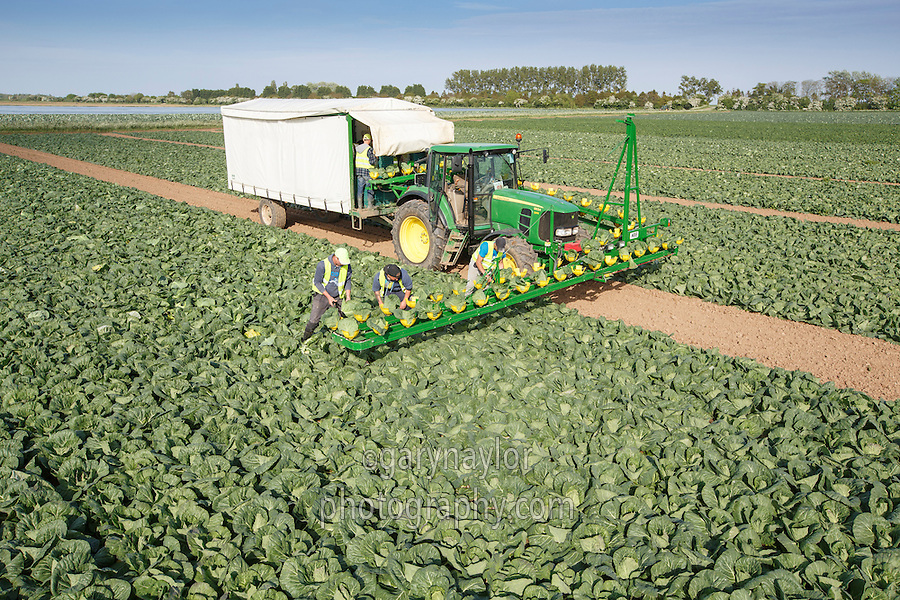 Harvesting early poly covered crop of Primo cabbage  - Lincolnshire, May
