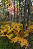 Cinnamon Fern, (Osmunda cinnamomea)  Baxter State Park, fall.