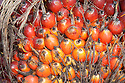 A close-up of a fresh fruit bunch (FFB) of oil palm. The Sindora Palm Oil Plantation, owned by Kulim, is green certified by the Roundtable on Sustainable Palm Oil (RSPO) for its environmental, economic, and socially sustainable practices. Johor Bahru, Malaysia
