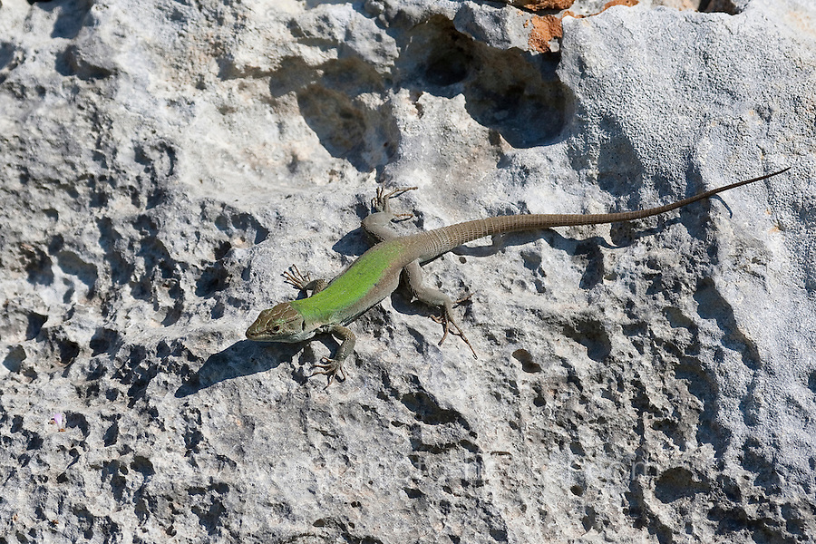 Ruineneidechse, Ruinen-Eidechse, Ruinenechse, Podarcis siculus, Lacerta sicula, Italian wall lizard, ruin lizard, Italian wall-lizard, Lézard des ruines, Italien, Sizilien