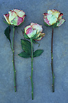Three cream and pink roses with long stems lying on grey slate