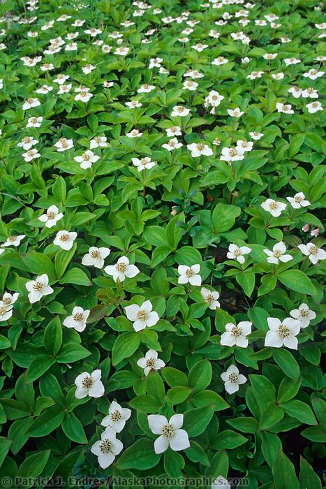 White dwarf dogwood blossoms carpet the forest floor in Fairbanks, Alaska