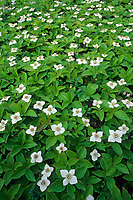 White dwarf dogwood blossoms carpet the forest floor in Fairbanks, Alaska