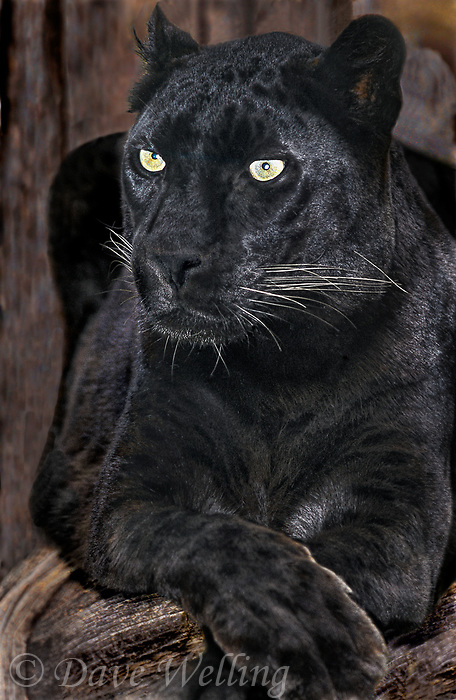 654309066 portrait of a black or melanistic phase adult male african leopard panthera pardus - animal is a wildlife rescue - species is native to sub-saharan africa