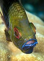 Pajama Cardinalfish, Sphaeramia nematoptera, mouth brooding eggs, Maumere, Indonesia, Pacific Ocean