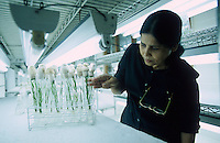 PHILIPPINES, IRRI international rice research institute est. by Ford and Rockefeller Foundation in Los Banos near Manila , Golden Rice in laboratory, a GMO crop with vitamin A betacarotin, vitamin A deficiency mostly affects women and children – causing sickness, blindness, and even death / PHILIPPINEN, IRRI, Internationale Reisforschungsinstitut in Los Banos, Entwicklung von Genmanipuliertem Reis mit eingesetztem Vitamin A und Betacarotin, auch Goldener Reis genannt