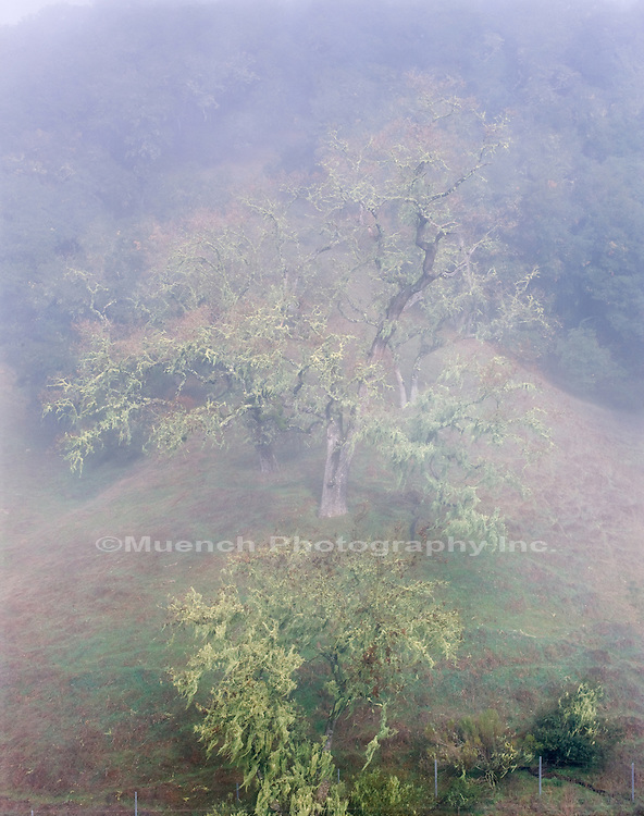 Oak in fog, Santa Lucia Wilderness
