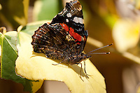 Red Admiral Butterfly, Vanessa atalanta, with folded wings, on ivy leaf, UK