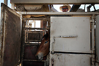 A foal waits to be inspected by veterinarian at Palomino Valley in Nevada.  Mustangs are given shots, and shaved for a freeze brand that marks when and where they were captured.<br /> Nearly 900 wild horses brought in from the Jackson Mountains are processed at Palomino Valley holding facility.  Horses that are sorted into mares and foals, stallions and are moved through a chute to be worked on by the veterinarian Rich Sanford.  Cary Frost applies the freeze brand and Dusty Capurro shaves the neck for the brand.