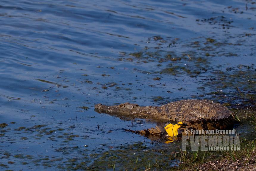 Nile Crocodile (Crocodylus Niloticus)..Nyamithi pan. GPS radio tracking tag for research purposes..May, Winter 2009..Ndumo Game Reserve, Kwazulu-Natal, South Africa.