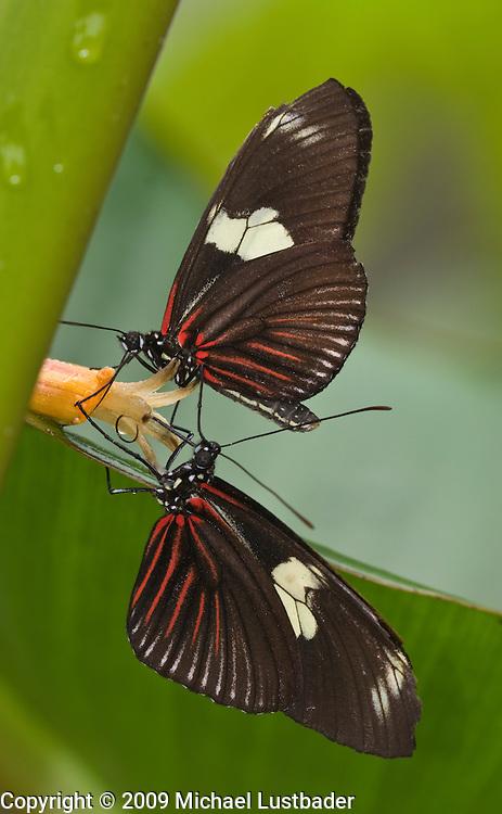Ecuadorian rainforest butterfly