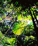 Licuala Palm, Daintree National Park, Queensland
