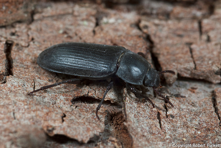 Groundbeetle, Pterostichus nigrita, on bark of tree stump in garden, black, beetle