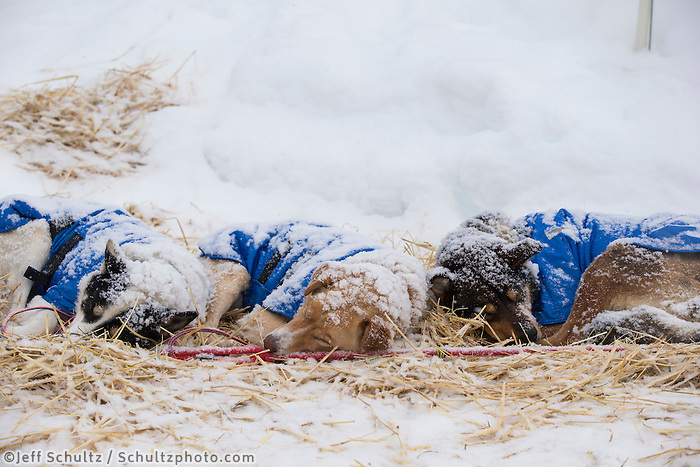 Mitch Seavey dogs rest in the falling snow at the Takotna checkpoint Wednesday March 6, 2013...Iditarod Sled Dog Race 2013..Photo by Jeff Schultz copyright 2013 DO NOT REPRODUCE WITHOUT PERMISSION