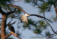 0112-0905  Flying Osprey Over Water Looking for Fish, Pandion haliaetus  © David Kuhn/Dwight Kuhn Photography.