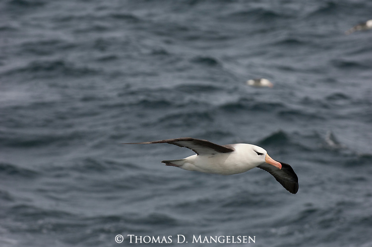 A black-browed albatross flies above the South Atlantic Ocean.