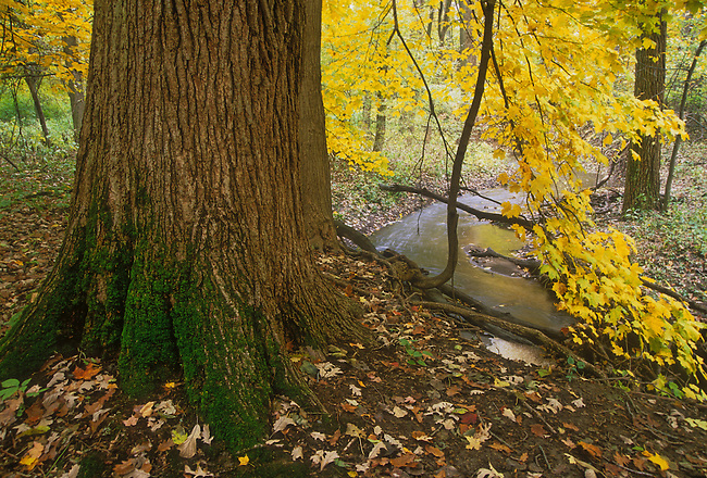 A massive Maple tree turns gold in the autumn along a small stream in Racoon Grove Forest Preserve, Will County, Illinois