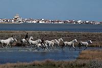 Europe/France/Provence-Alpes-Côte d'Azur/13/Bouches-du-Rhône/Camargue/Les Saintes Maries de la Mer: Gardian et chevaux