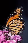 Monarch butterfly (Danaus plexippus) - on purple flower head lifecycle, metamorphosis orange pattern wings