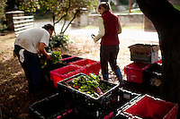 Ojai, California, October 19, 2010 - CSA members Jon Wilk and Gamyn Del Nagro load the weekly harvest including a selection of ruby red and golden yellow beets at Rio Gozo Farm for their CSA, Community Supported Agriculture, members. The 4-acre farm is cultivated and managed by micro-farmer John Fonteyn and his wife Elizabeth. While there are several farms in Ojai that operate CSAs, Fonteyn saw a need for nearby Ventura, where no such opportunity exists. Though farming is a fairly solitary profession, Fonteyn has made a point to include the community by selecting creative pickup destinations and by hosting seasonal parties at his farm so that his members can visit, meet one another and learn more about where their food comes from. Members can also volunteer to help harvest once a week in exchange for food and the knowledge of how to grow and harvest various vegetables. Fonteyn also reaches out into the community by donating his time and some of his harvest to organizations that help to promote shared ideas of sustainability, local sourcing, and organic farming and well as building a network of communities around these shared values. ..Community Supported Agriculture, CSA, is an idea began in the 1960's whereby a farmer offers 'shares' to the public in return for payment up front. Each week the farmer delivers what seasonal produce is harvested. There are many advantages to both the farmer and the consumer. Benefits to the farmer include: 1) He has time to market early in the season to build subscriptions, allowing for more time during farming seasons to focus on the long harvesting days; 2) He receives payment early in the season which helps with the cash flow for seeds, planting and other up front costs; and 3) It allows the farmer to grow a more varied crop, minimizing the economic effects of trends in produce.  Benefits to the consumer include: 1) Ultra-fresh, locally grown, often organic produce; 2) Exposure to new vegetables and new ways of cooking; 3) Opportun