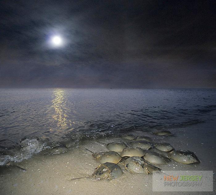 Horeshoe crabs breeding on the Atlantic Coast, full moon rising, Kimble's Beach, Delaware Bay, New Jersey