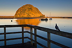 Pigeon watching the sunrise light on Morro Rock from pier, Morro Bay, California