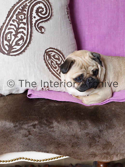 A pug makes herself comfortable against an appliqued cushion on the living room sofa