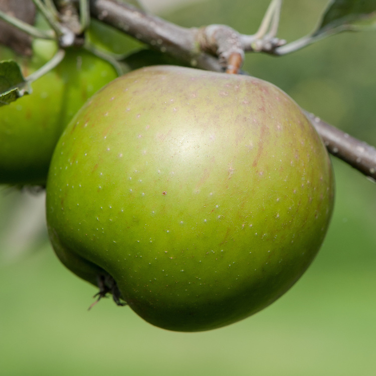 Apple 'Lamb's Seedling', mid September. An English dual-purpose, dessert-culinary apple bred in 1866-7 by Joseph Lamb at Meynell Langley, Derbyshire.