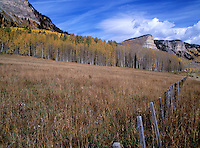 Fall Aspen Tree in Colorado.